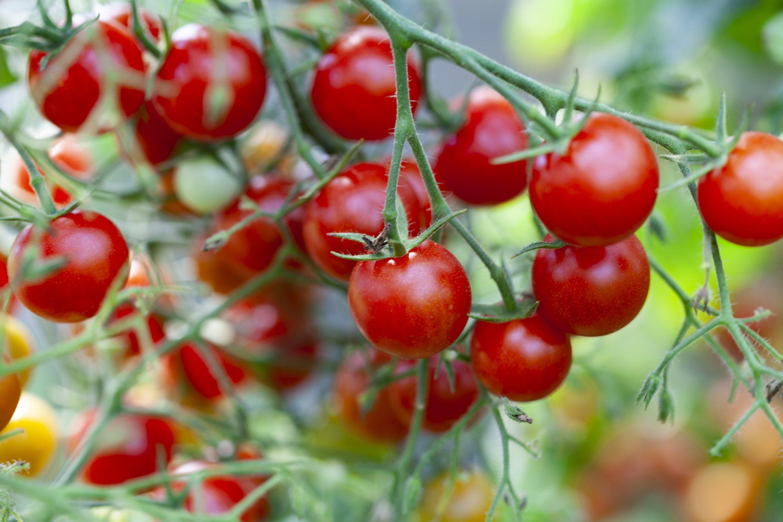 Tomaten pflanzen in der Wohnung