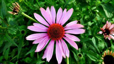 Echinacea pflanzen im haus