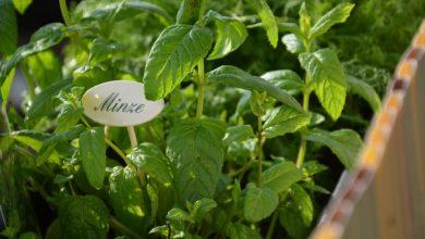 Minze pflanzen in der Wohnung