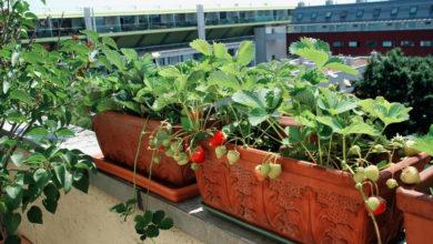 Erdbeeren pflanzen auf dem Balkon