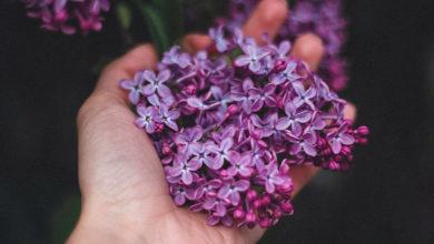 Lavendel pflanzen, richtig pflegen und nutzen