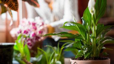 Monstera pflanzen und richtig pflegen