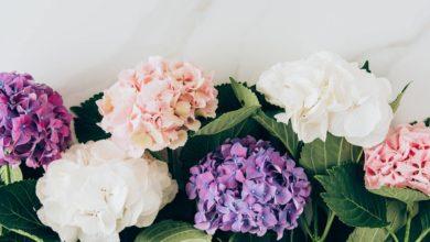 Hortensien pflanzen auf deinemB alkon